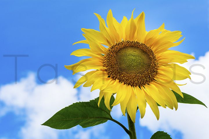 Sunflower on the blue sky background.