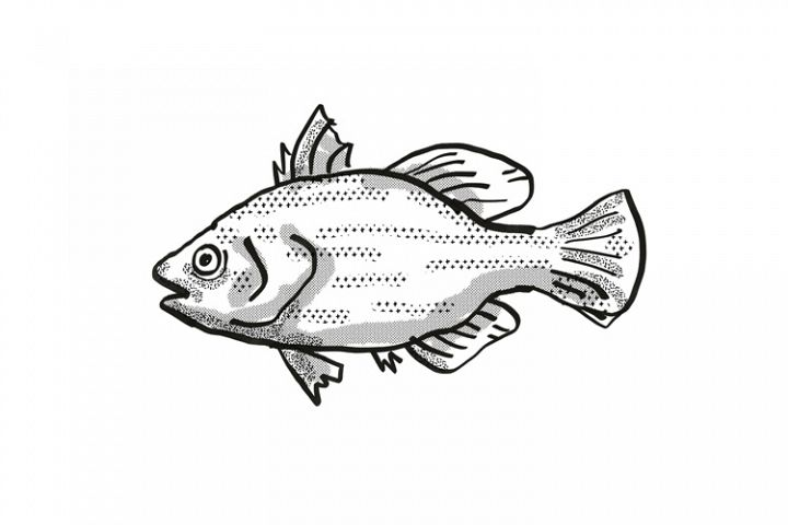 Spikey Bass Australian Fish Cartoon Retro Drawing