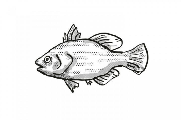 Spikey Bass Australian Fish Cartoon Retro Drawing
