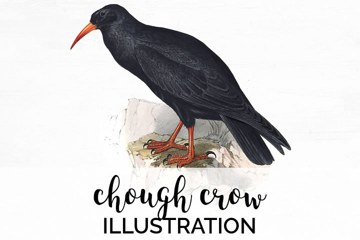 Birds - Vintage Chough Crow