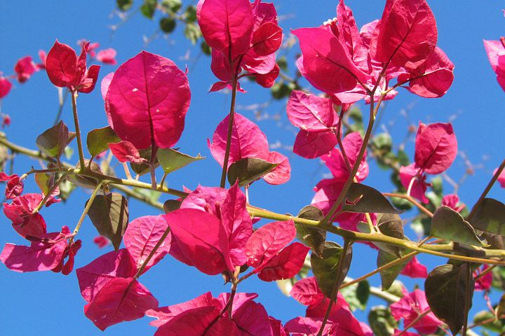 Pink Flowers with Blue Sky