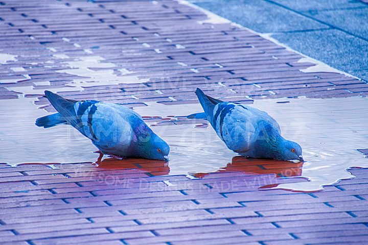 Doves Drinking Water 2