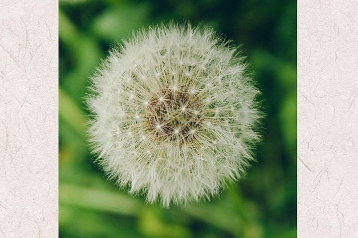 Dandelion photo 5