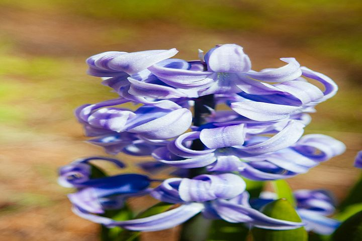 Wild hyacinth flower photo