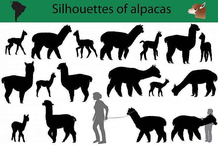 Silhouettes of alpacas
