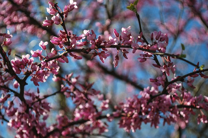 Eastern Redbud Blooms