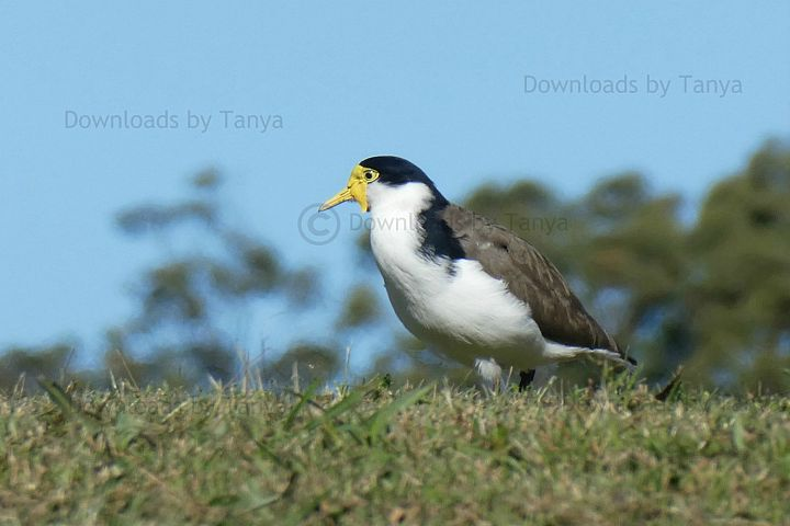 Masked lapwing plover bird photo