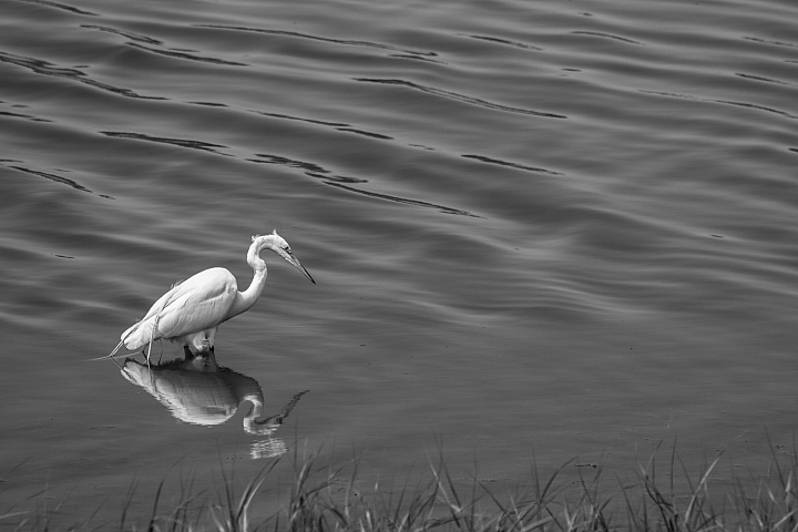 White heron photo 8