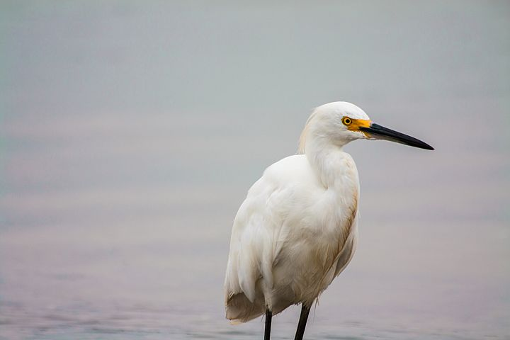 White heron photo 5