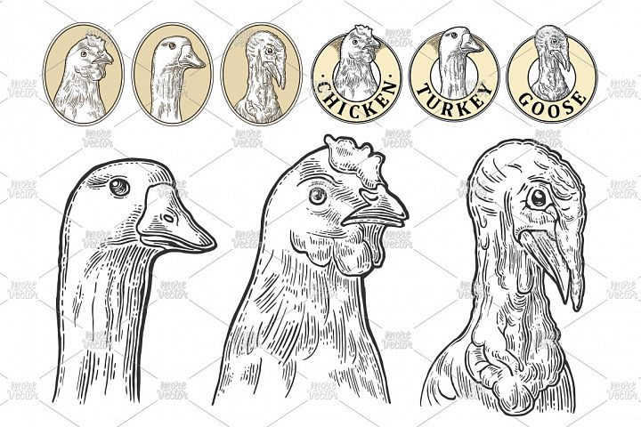 Heads chicken, goose and turkey engraving