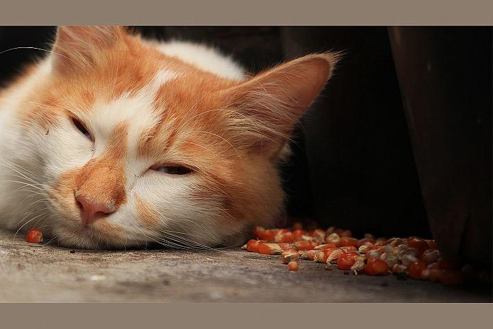 Beautiful Adult Sleeping Cat