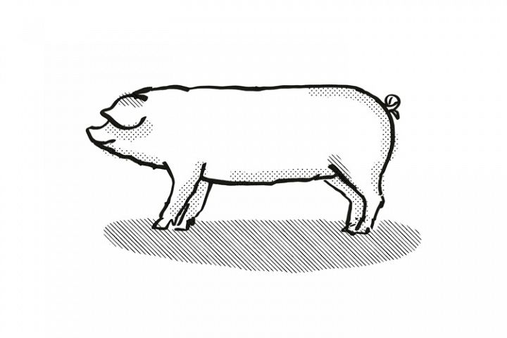 Welsh Pig Breed Cartoon Retro Drawing