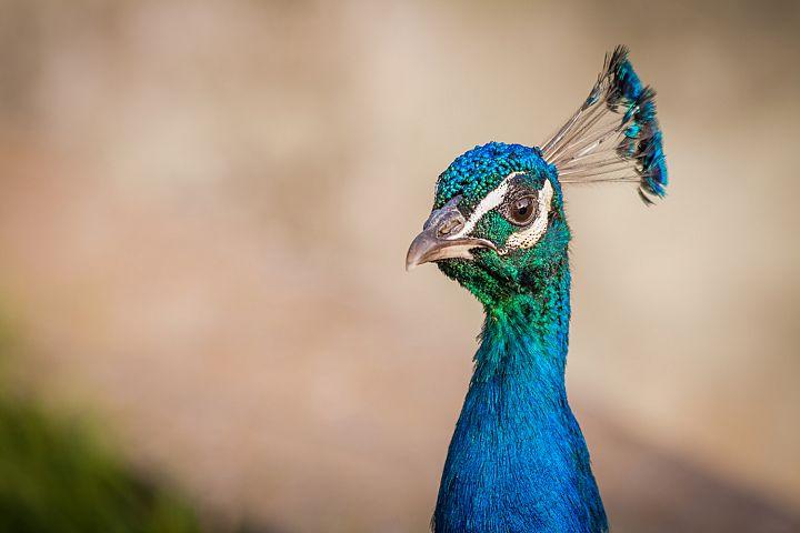 Peacock photo 18