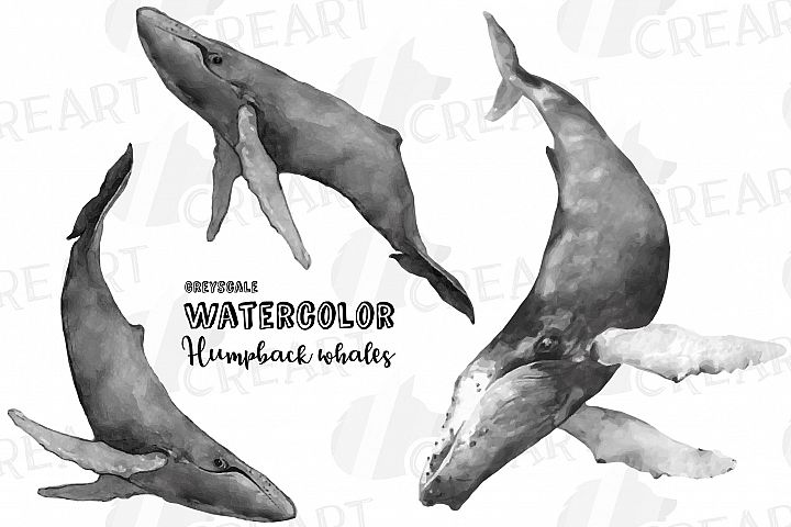 Humpback whale grayscale watercolor clip art pack