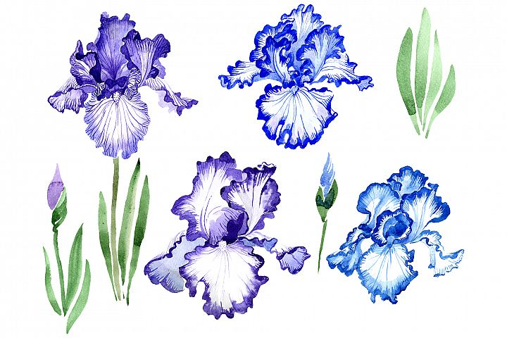 Iris bearded blue watercolor png