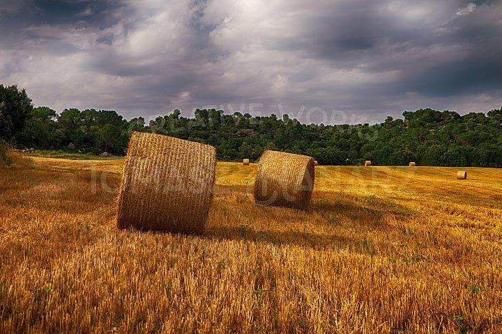 Harvest Field 4