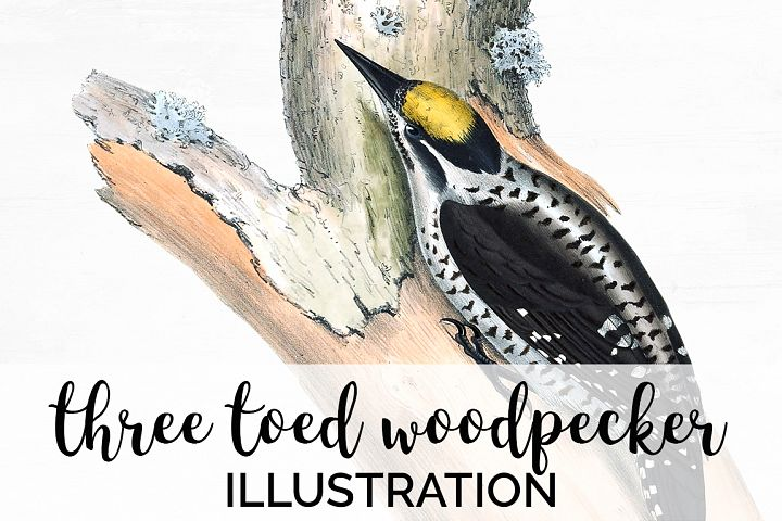 Birds - Vintage Three Toed Woodpecker