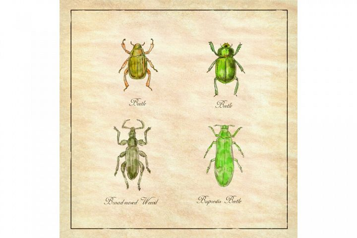 Beetle, Broad-Nosed Weevil and Buprestis Beetle Vintage
