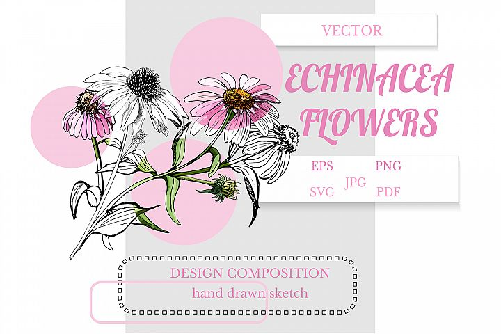 Design composition of hand drawn sketch of echinacea flowers