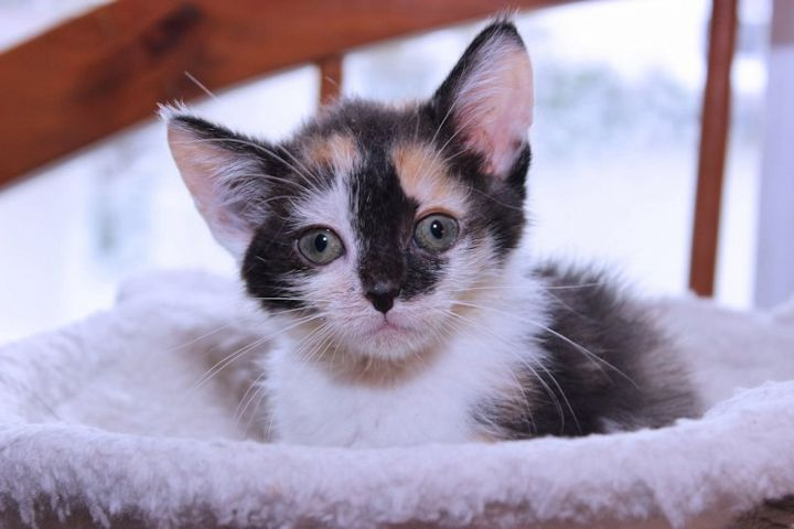 CUTE CALICO KITTEN