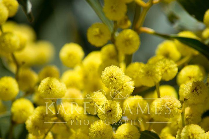 Golden Wattle Photo
