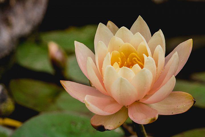 Lotus photo 27