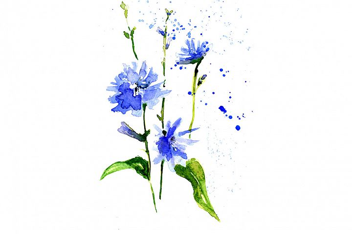 sketch drawing blue chicory
