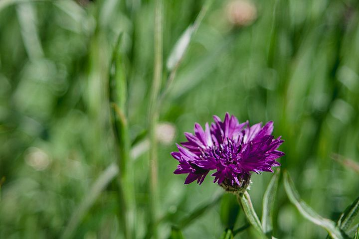 Cornflower photo 9