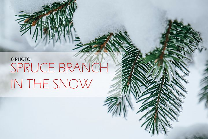 Spruce branch in the snow close-up