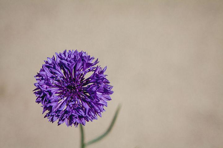 Cornflower photo 14