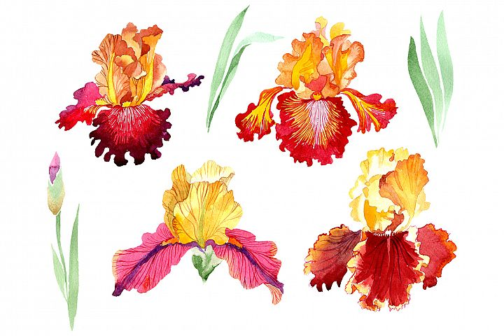 Iris plant Bold encounter watercolor png