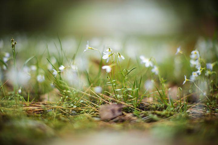Leucojum flowers on green field