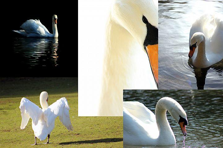 5 Swan Photographs