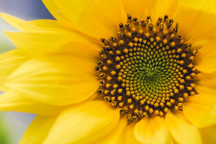 Sunflower photo 2