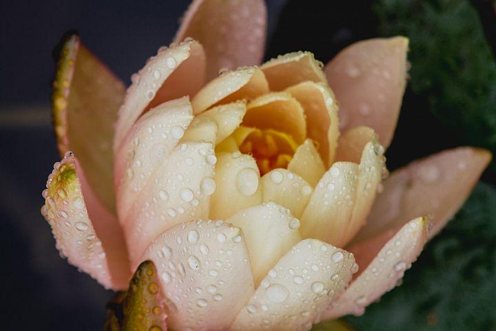 Lotus photo 36