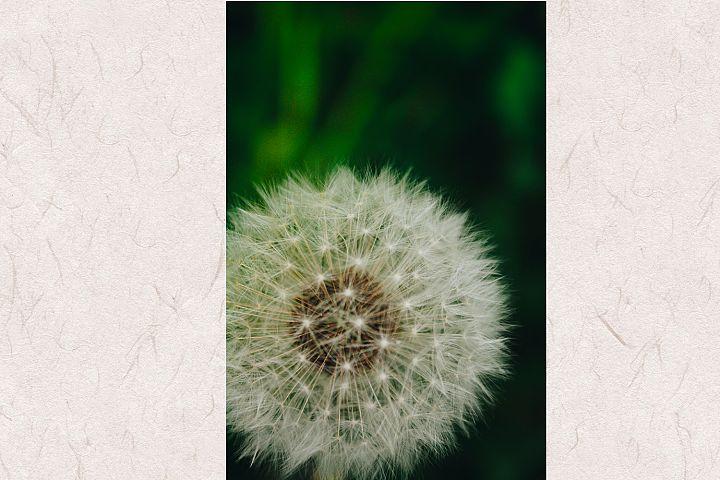 Dandelion photo 6