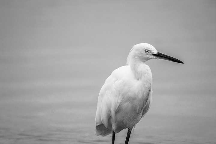 White heron photo 6