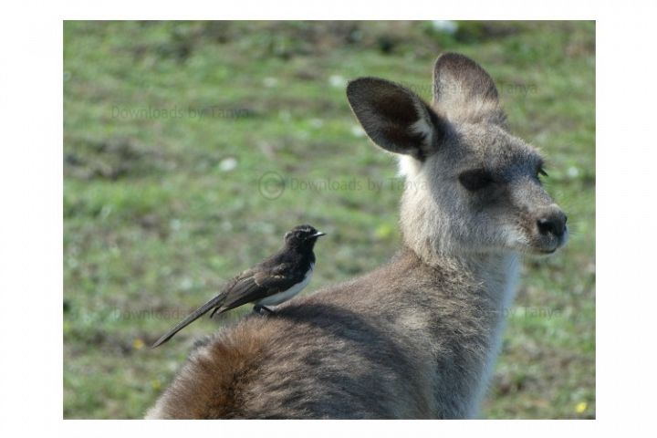 Australian Kangaroo with bird photo