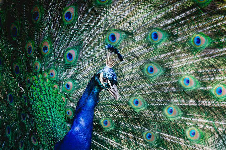 Peacock photo 2
