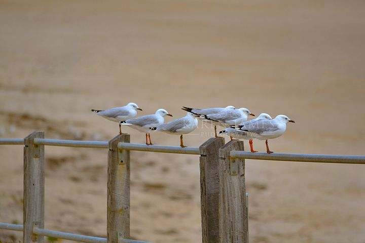 Seagulls On A Rail