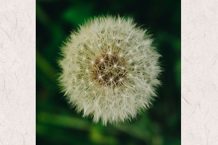 Dandelion photo 4