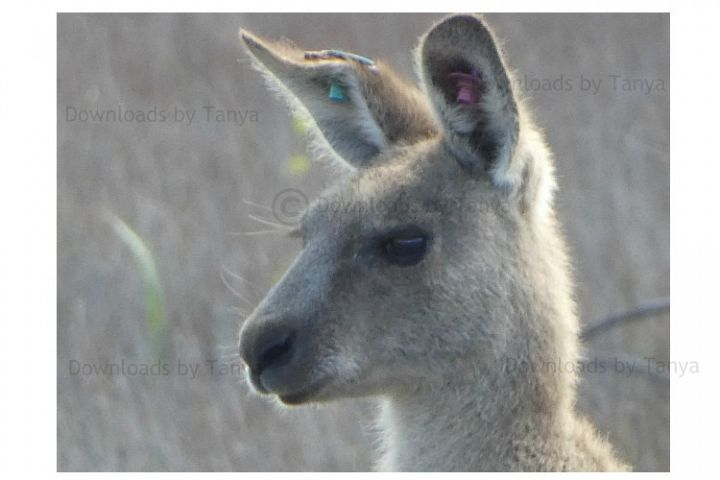 Australian Kangaroo head photo