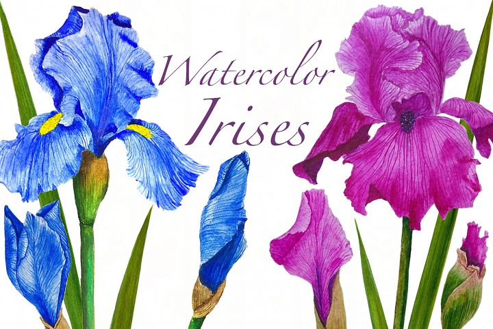 Flowers Irises watercolor