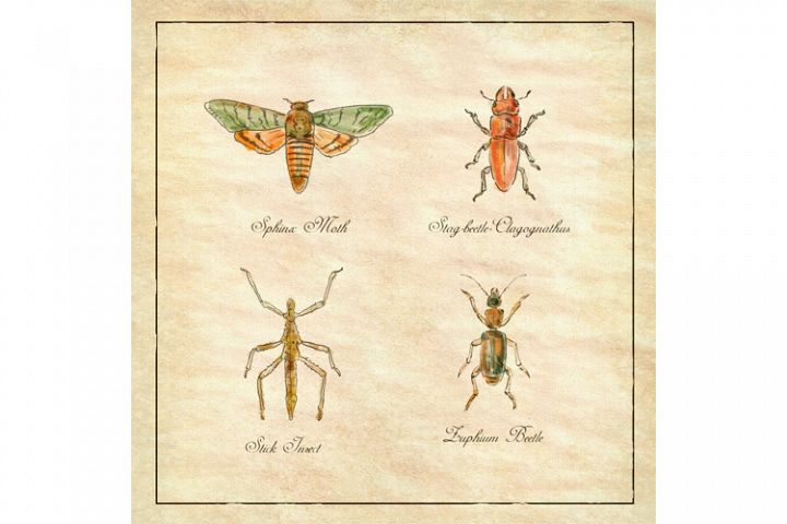 Sphinx Moth, Stag beetle, Stick Insect and Zuphium Beetle
