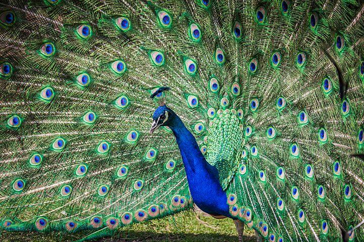 Peacock photo 7