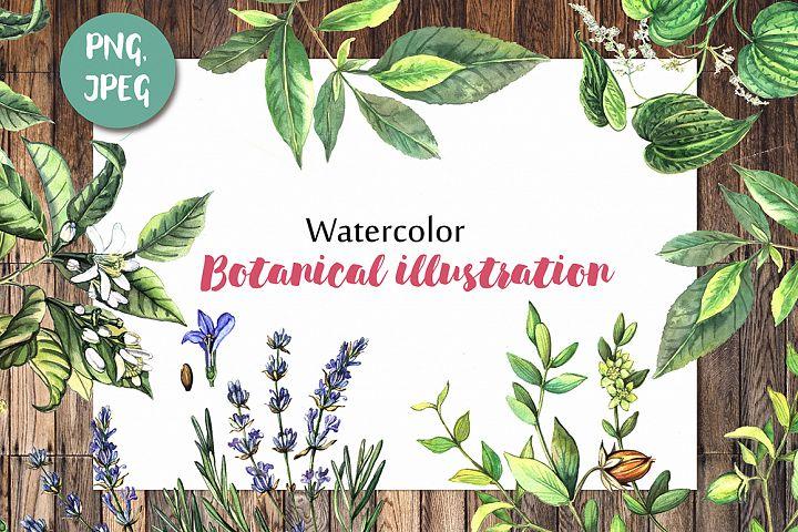 Watercolor botanical illustration