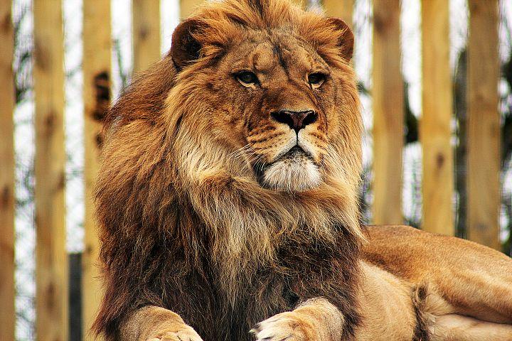 Lion Photograph