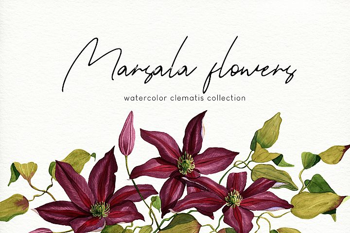 Marsala flowers. Watercolor clematis collection