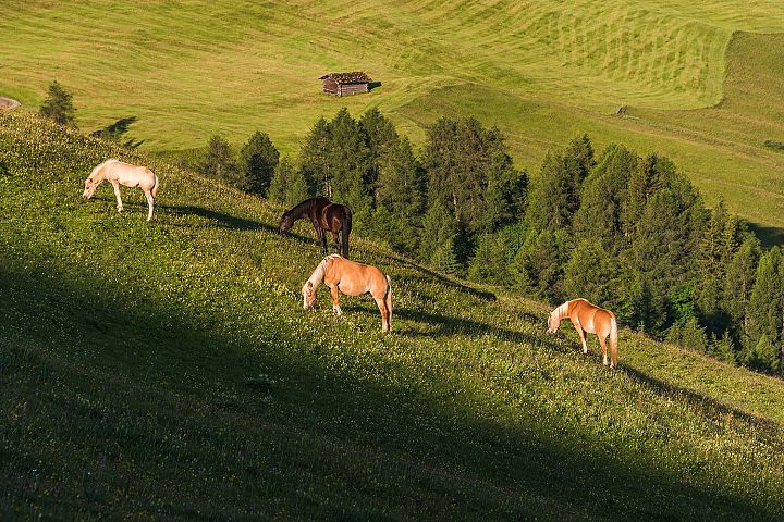 Horses at Seiser Alm in the Dolomites mountains