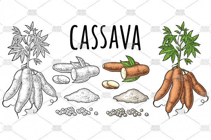 Cassava manioc plants. Vector color vintage engraving